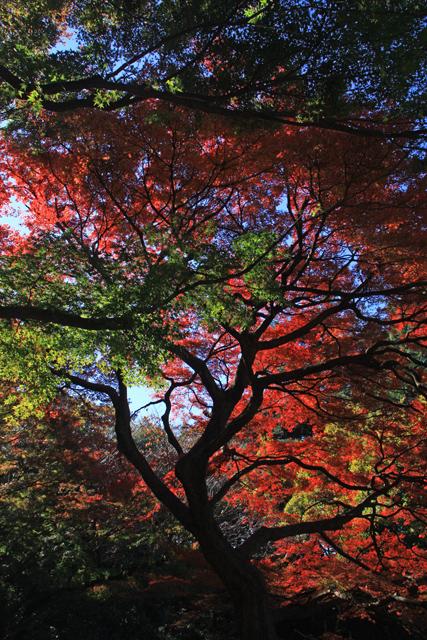 新宿御苑の紅葉2013