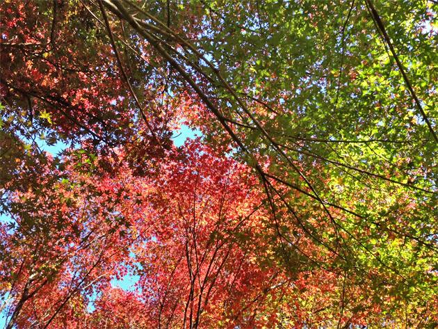 新宿御苑の紅葉見頃