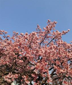 新宿御苑の寒桜2014