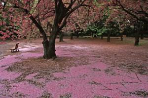 新宿御苑の桜2014