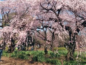 新宿御苑のシダレザクラ