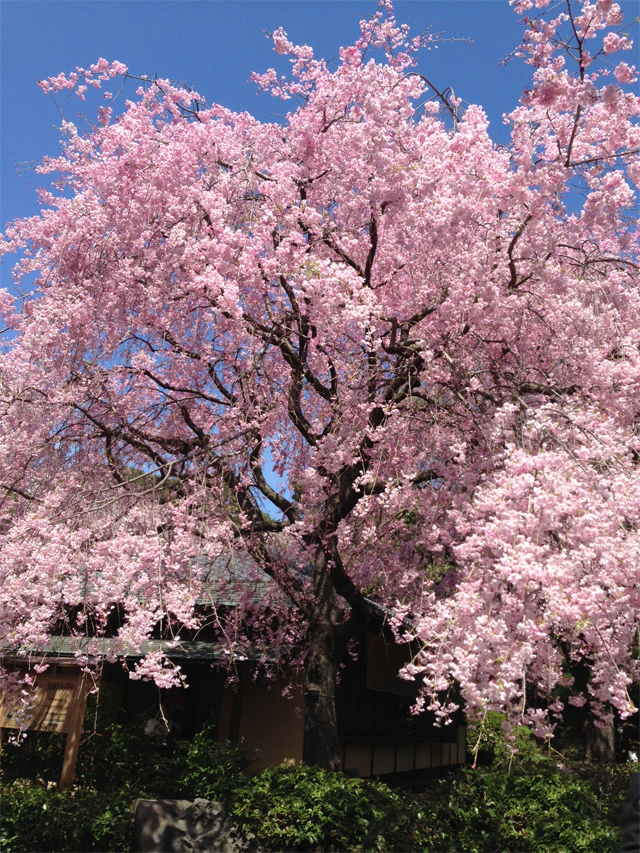 新宿御苑の桜(八重紅枝垂) 満開!ソメイヨシノから八重紅枝垂へ(4/5) お花見ピークの週末。