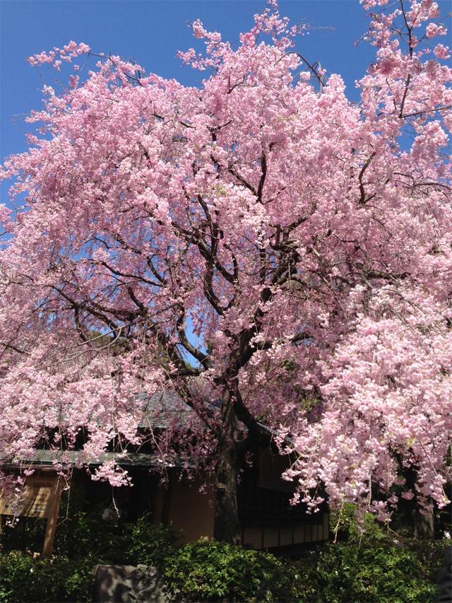 新宿御苑の桜(八重紅枝垂)