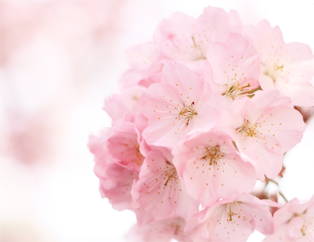 新宿御苑の桜「開花・満開・お花見情報」2017