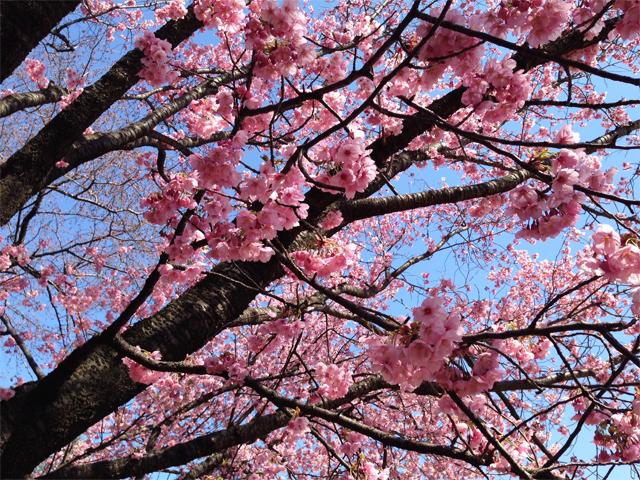 新宿御苑の桜(陽光)