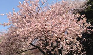 新宿御苑の桜2015