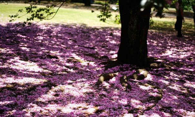 新宿御苑の桜のじゅうたん