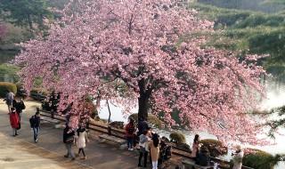 新宿御苑の修善寺寒桜2016