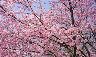 新宿御苑の桜2016(陽光)