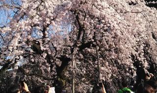 下の池のしだれ桜(新宿御苑)