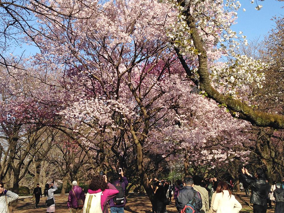 新宿御苑の桜(桜園地)