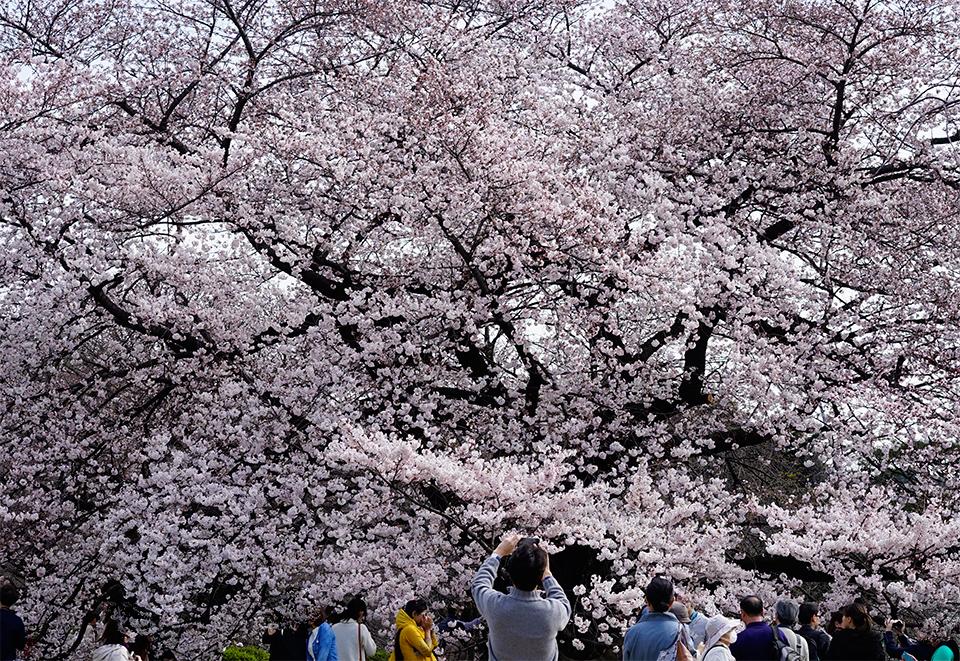 新宿御苑の桜2016
