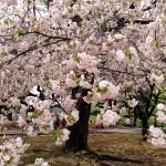 新宿御苑の八重桜(一葉)2016