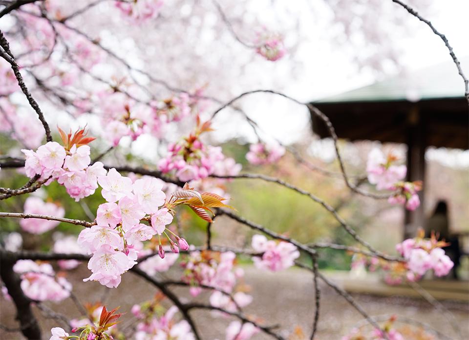 新宿御苑の桜(2016)