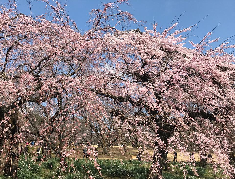 新宿御苑の桜2017(しだれ桜)