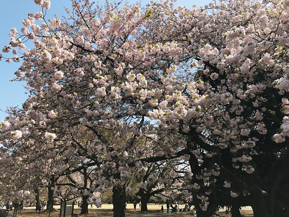 新宿御苑の八重桜