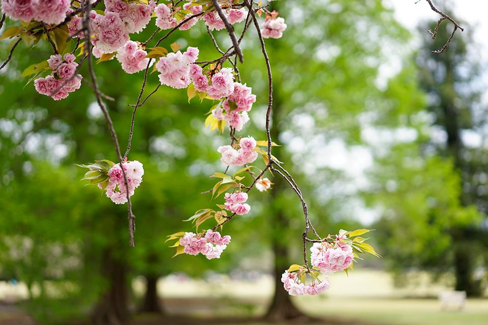 新宿御苑の桜と新緑(2017)