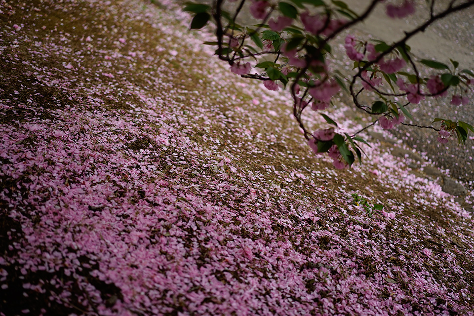 新宿御苑の桜2-17